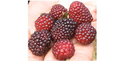 Die Kultivierung der Mora erfolgt vom südlichen Hochland Mexikos bis in nördliche Andenregionen